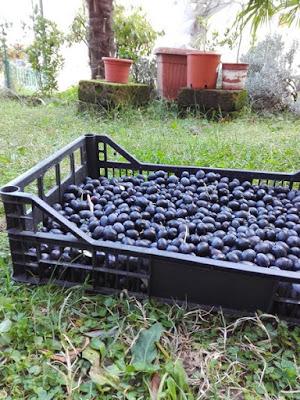 Come funziona la raccolta delle olive nell'orto di Elle e Alli.
