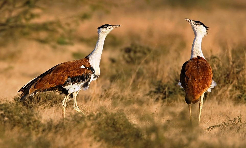 the great indian bustard faces threat of extinction