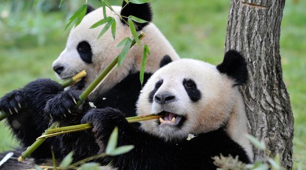20 fakta menarik panda oleh icha aurella. Black Bedroom Furniture Sets. Home Design Ideas