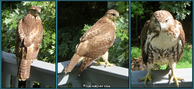 Read about the hawk on my balcony. A free photo writing prompt appropriate for first, second, and third graders is included.