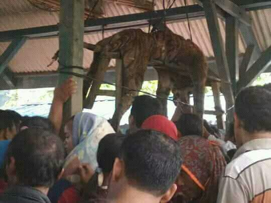 Warga menyaksikan harimau yang menyerang warga dan tewas ditembak.