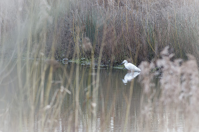 Little Egret through reeds