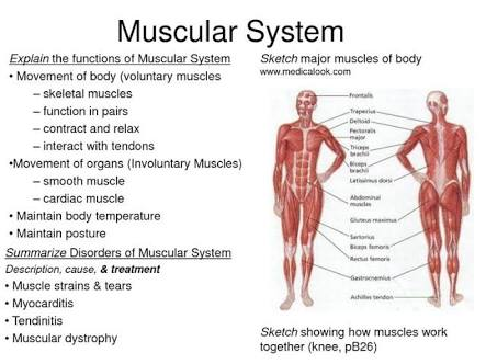 Function of the muscular system,muscular system,muscles