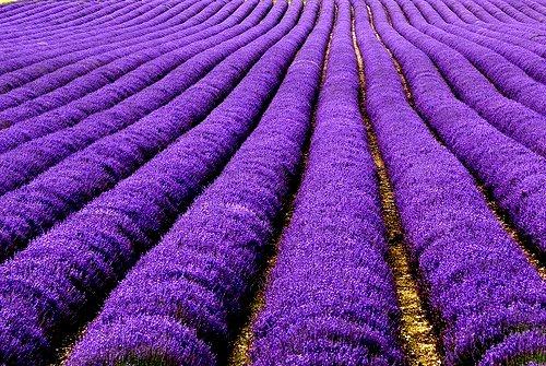 http://4.bp.blogspot.com/-Jn9QX-UHSvU/T4c1-OJOeQI/AAAAAAAAD_w/fibg-c9f0_8/s1600/colour-me-purple-lavender-blue-the-flying-tortoise.jpg