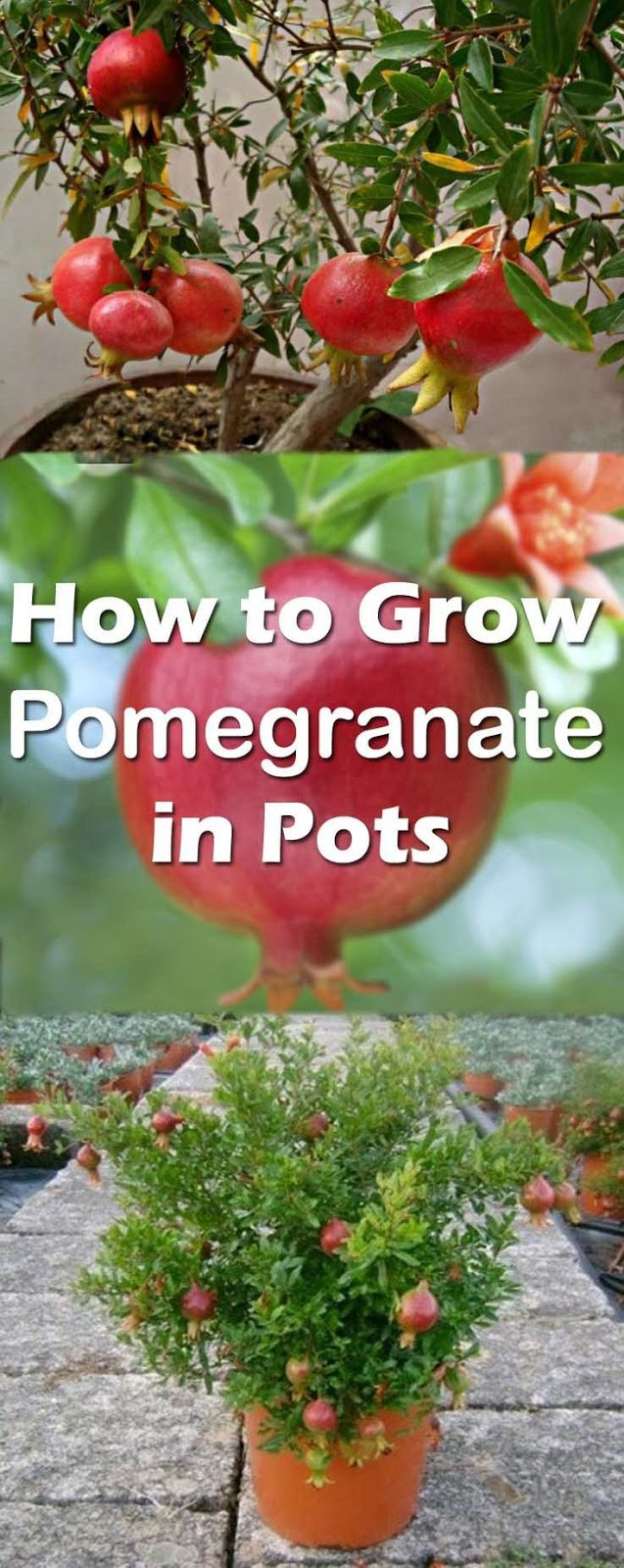 Easy Tips How to Grow Pomegranate From Seed, Grow Your Own ... Pomegranate Trees In Garden Design on orange tree garden, peach tree garden, apple tree garden, tea tree garden, orchard tree garden, peony tree garden, guava tree garden, rose tree garden, grape tree garden, olive tree garden, fruit tree garden, cherry tree garden, japanese maple tree garden, pine tree garden, white tree garden, pepper tree garden, coconut tree garden, mango tree garden, lilac tree garden, raspberry tree garden,