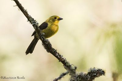 Yellow headed brush Finch