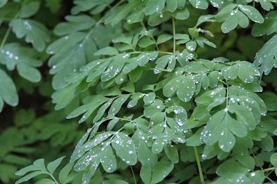 Corydalis scouleri - Scouler's Fumewort Leaves