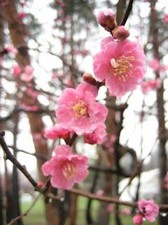 Hokugen Plum Blossom Festival 北限の梅まつり Hokugen no Ume Matsuri
