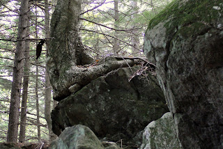 Yellow Birch Growing on a Boulder