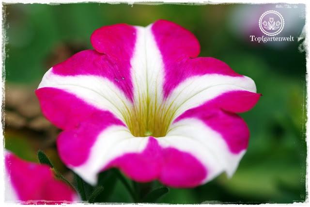 Gartenblog Topfgartenwelt Buchtipp Pflanzrezepte: Surfinie in pink-weiß