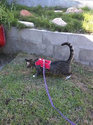 Cat wearing secure Ruffwear harness