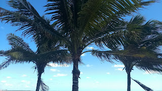 Cocos nucifera coconut palm caribbean ocean tree