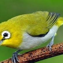 Membuat Pakan Racikan Dari Bee Pollen Untuk Burung Pleci