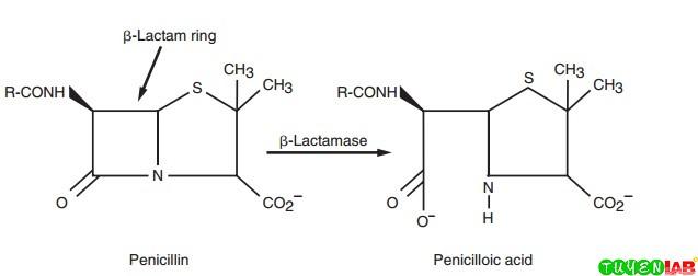β-Lactamase hydrolyzes the β-lactam ring portion of the penicillin molecule