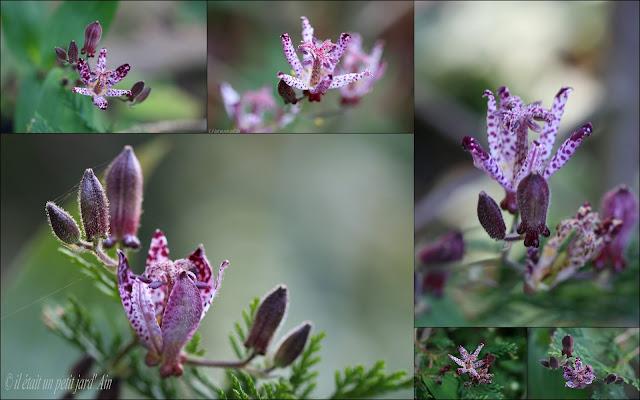 tricyrtis shinoanum