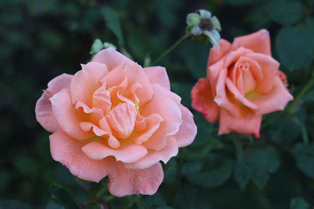 Pink roses in Regent's Park, London - lifestyle blog