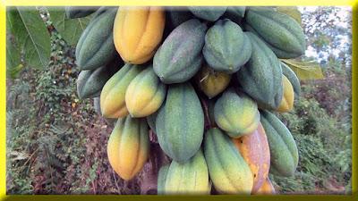 gambar buah pepaya gunung, carica