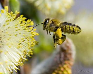 https://4.bp.blogspot.com/-Jp1GXmznkvE/WQd2_asazyI/AAAAAAAABrU/H1aoZ25wa4YjJGLwDyCTbY07Cr_F2jX2wCEw/s320/Bee-Flying-On-Flower-Wallpaper-HD.jpg