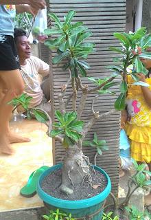 Jual pohon bonsai Kamboja Jepang murah,  adenium murah , jual pohon Kamboja kecil,  Kamboja adenium bonggol murah,  tukang Taman minimalis murah,  Taman gaya Bali,  Taman gaya Jepang,  Taman mewah,  Taman Indah,  Taman halaman depan,  Taman halaman belakang,  Taman dinding,  vertical garden,  roofgarden