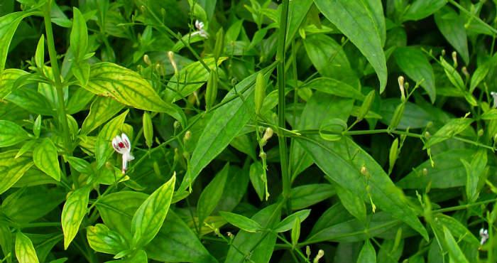 Mengenali Tumbuhan Sambiloto Serta Kesehatan Terhadap Tubuh