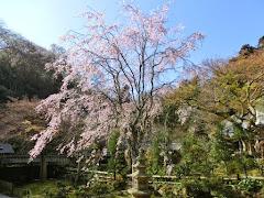 東慶寺の枝垂れ桜