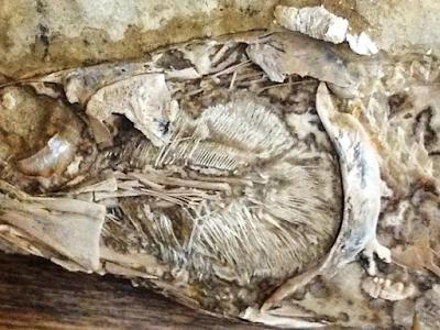Um coração fossilizado bem preservado é descoberto no Ceará