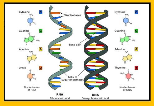 Pengertian,Fungsi,Struktur dan Perbedaan DNA dengan RNA
