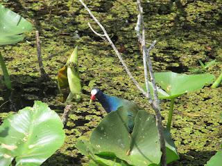 Purple Gallinule in the Everglades
