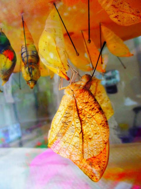 Indiana Photo of the Day - Butterfly and Cocoon - The Foellinger-Freimann Botanical Conservatory - Fort Wayne