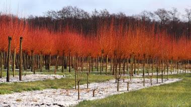 Plantas que dan color al jardín en invierno: Salix alba 'Chermesina'