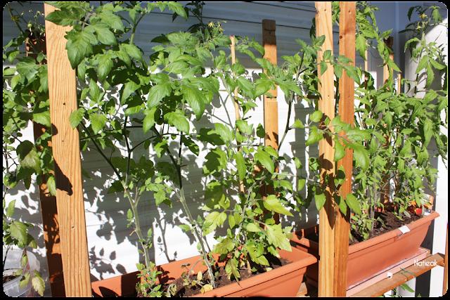 variétés de tomates du balcon