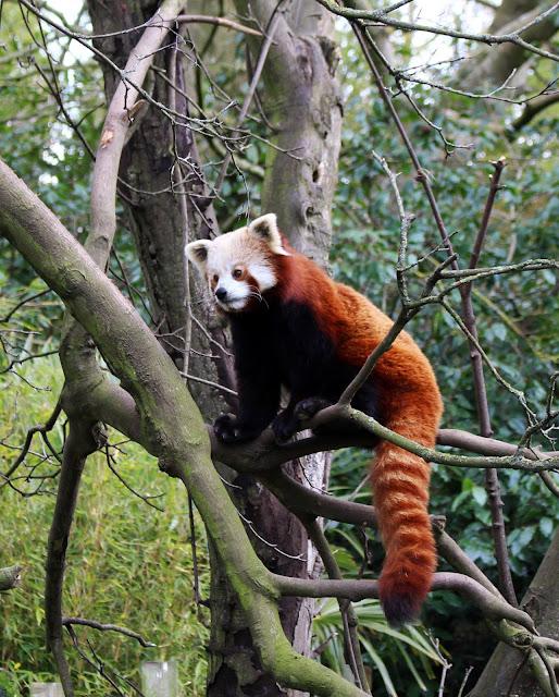 Dublin Zoo, Ireland, Red Panda, Panda, Dublin