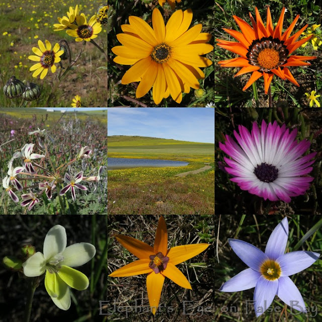 August flowers at Tienie Versfeld near Darling