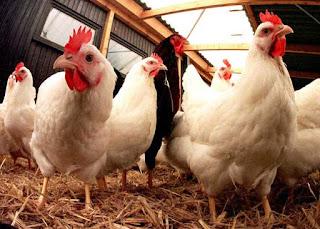 kebutuhan nutrisi ayam broiler