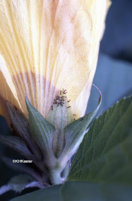 ants on Hibiscus extrafloral nectaries