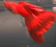 jenis Ikan Guppy Super Red Singapore