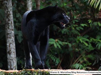 Parque zoobotânico de carajás, vale conhecer, zoobotânico de carajás, parque, floresta nacional de carajás, turismo, Parauapebas, Pará, zoobotânico de parauapebas, vale, mineradora vale, natureza, conservação, onça preta, onça pintada, onça, onça preta de carajás, onça preta zoobotânico de carajás, jaguar, black jaguar