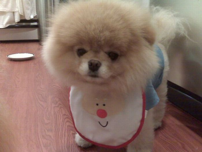 pomeranian boo dogs my funny beautiful pomeranian puppy named boo pictures 7791