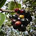 25 Manfaat Buah Jamblang, Daun Dan Kulit Pohon Duwet