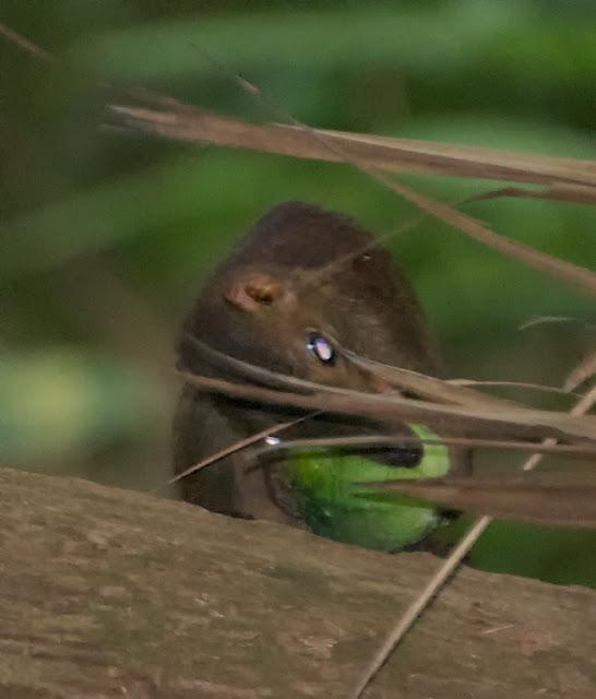Common Treeshrew (Tupaia glis)