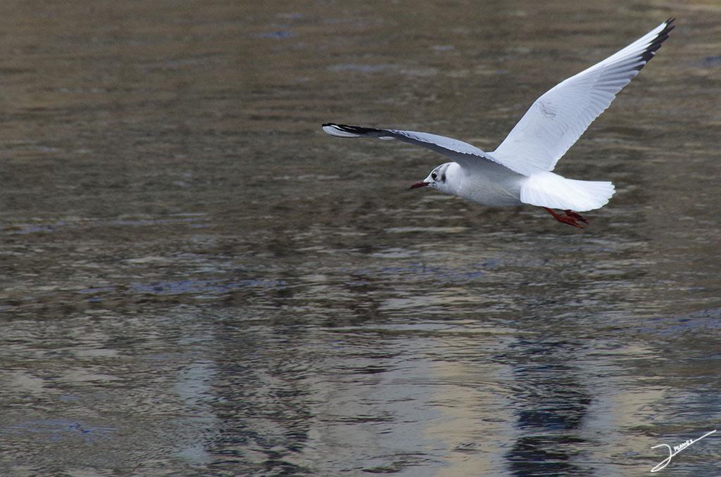Gaviota reidora volando sobre aguas del río Segre