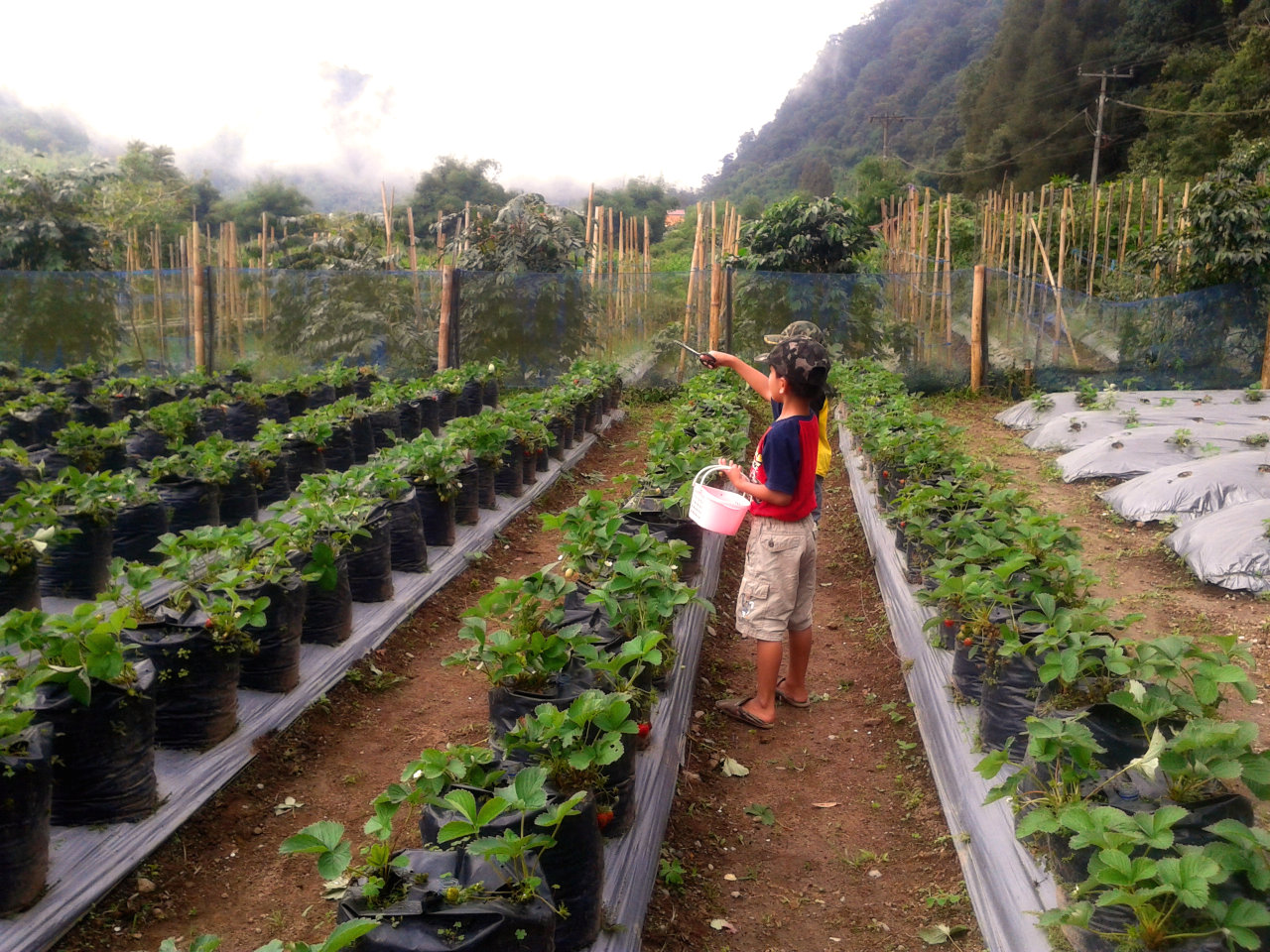 Kebun Strawberry di Brastagi