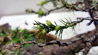 yemas y brotes yamadori conifera piñas colgando