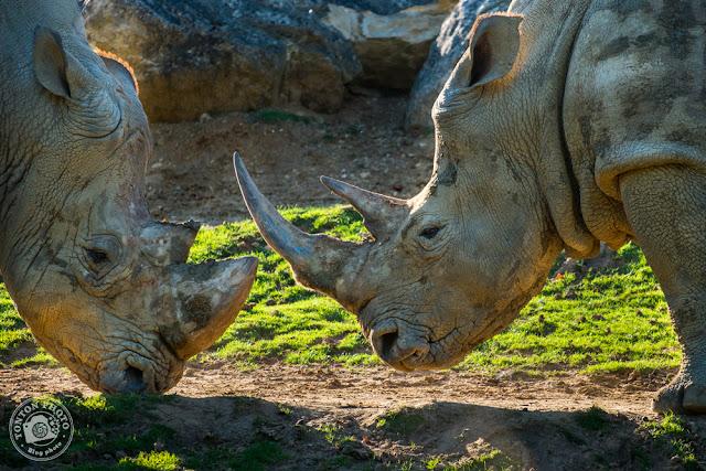 White rhinos Beauval Zoo © Clement Racineux / Tonton Photo