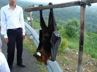 Flying fox  ( الثعلب الطائر )