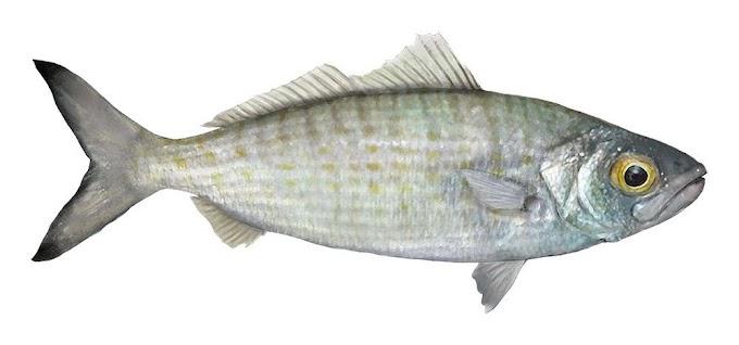 नदी में मछली पालन: नदी के जल में मछली पालन कैसे करें?