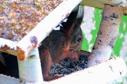 Eichhörnchen im Vogelhäuschen...