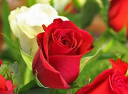 Gambar Bunga Mawar Beserta Bagian Bagiannya Gambar Bunga Mawar