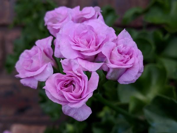 Plant profile: Summer Rose