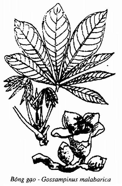 Hình vẽ Bông Gạo - Gossampinus malabarica - Nguyên liệu làm thuốc Đắp vết thương Rắn Rết cắn